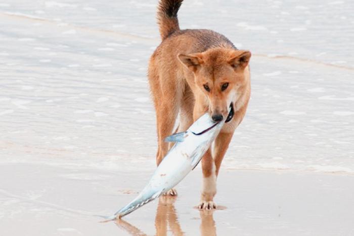 cachorro pode comer peixe 2