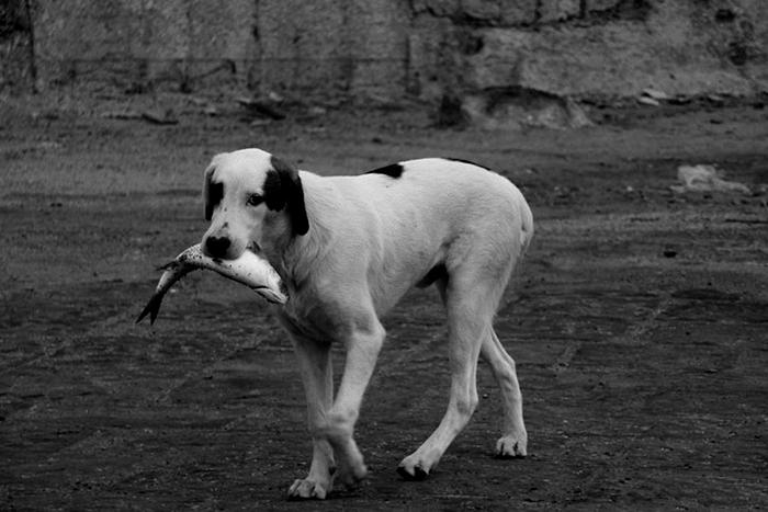 cachorro pode comer peixe 5