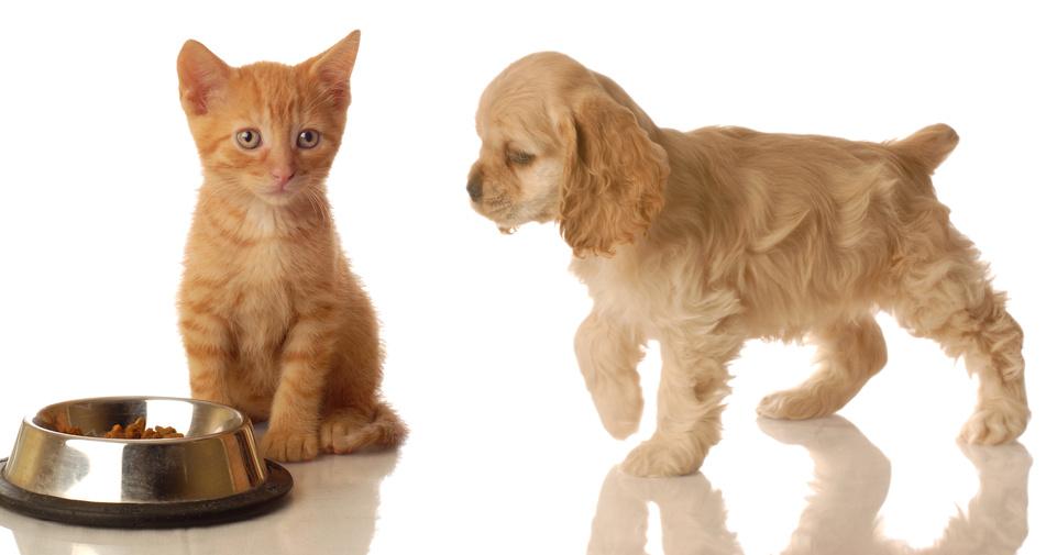 cachorro pode comer ração de gato 2