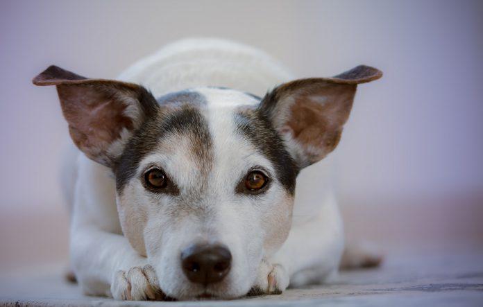 cachorro pode comer feijão 1