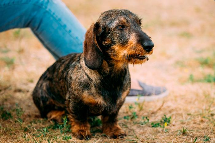 dachshund 13