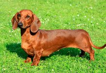 dachshund 4