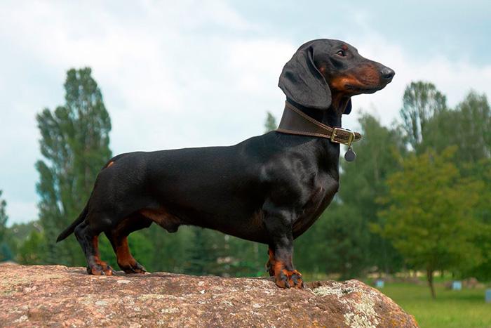 dachshund 5