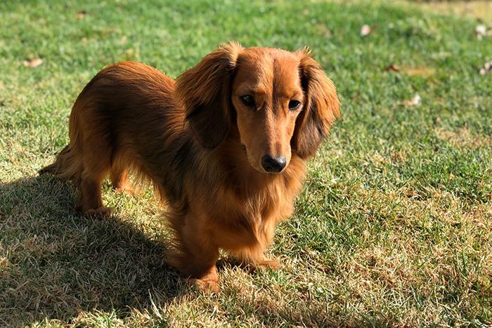 dachshund 6