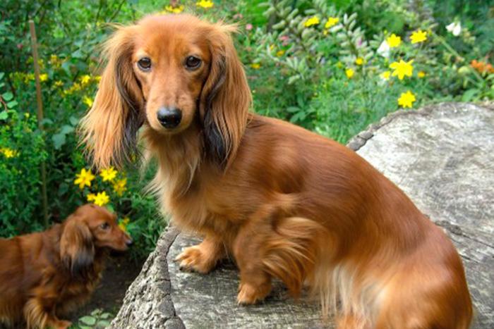 dachshund 7