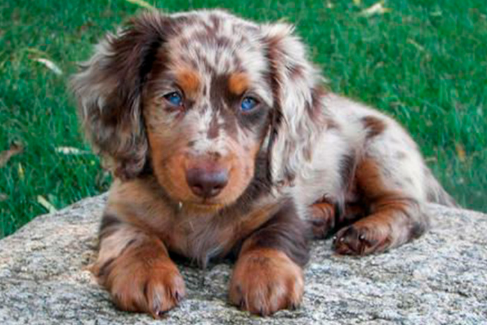dachshund 9