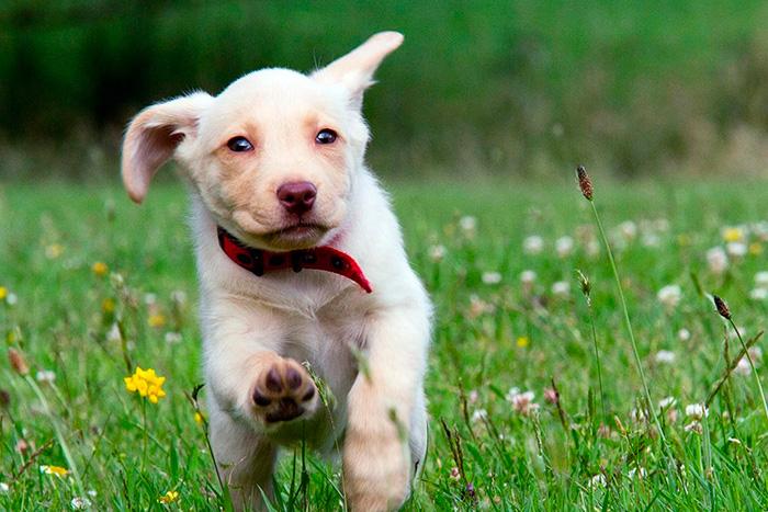 filhote de labrador retriever 4