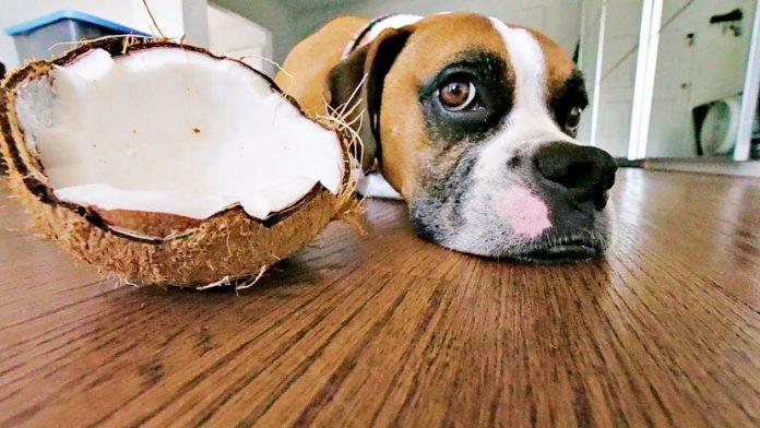 cachorro pode comer coco 1
