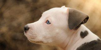 filhote de pitbull (2)