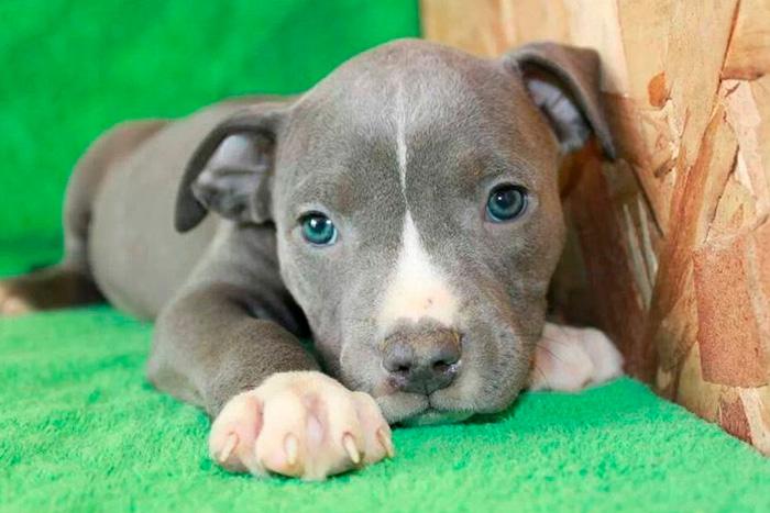 filhote de pitbull (4)