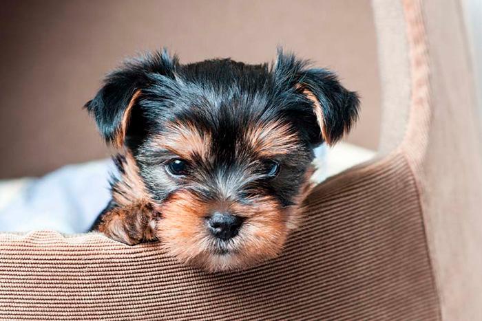 filhote de yorkshire terrier 1