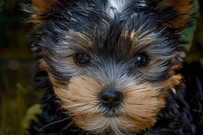filhote de yorkshire terrier 3