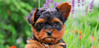 filhote de yorkshire terrier 4