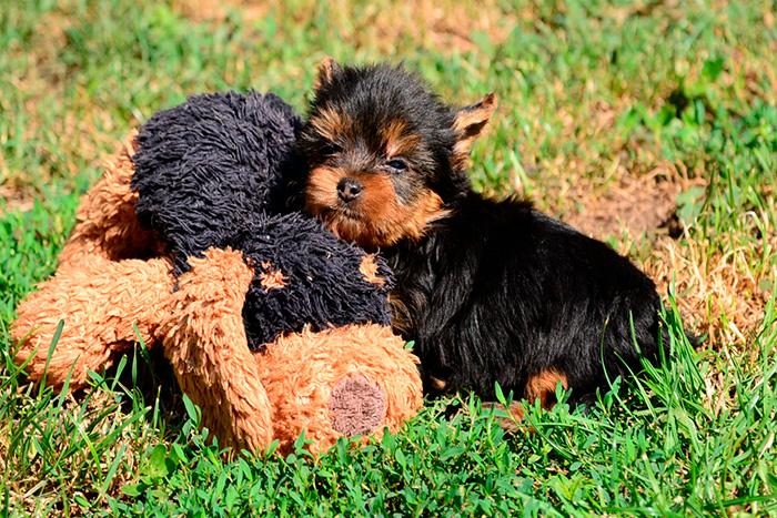filhote de yorkshire terrier 5