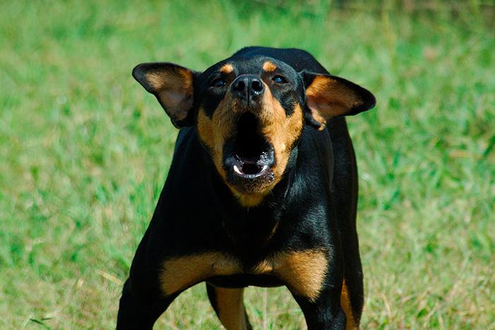 cachorro latindo 2