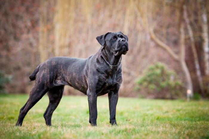 cane corso 8