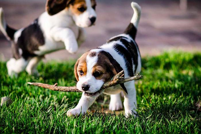 filhote de beagle 5
