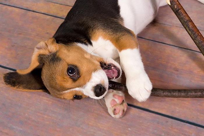 filhote de beagle 6