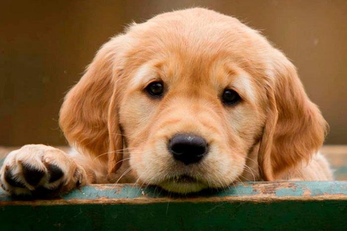 filhote de golden retriever 3