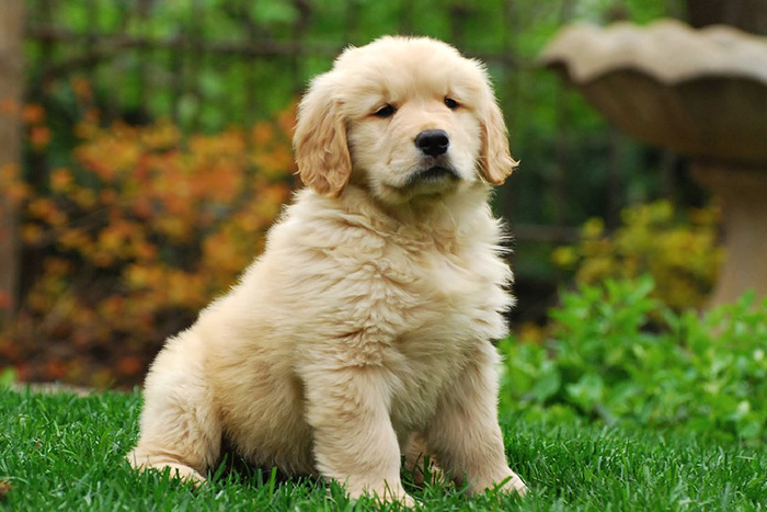 filhote de golden retriever 5
