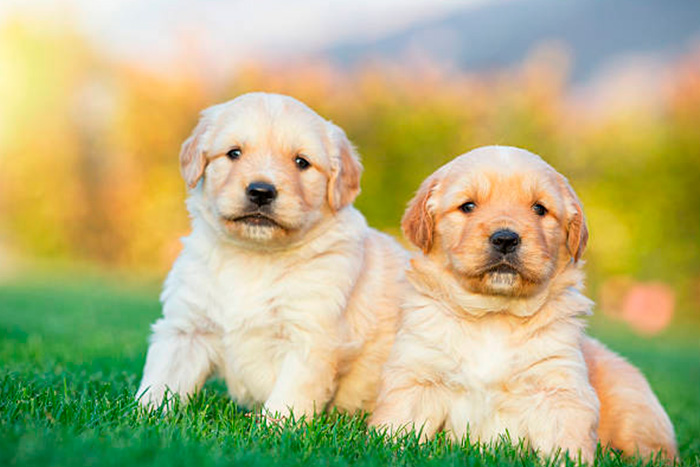 filhote de golden retriever 6