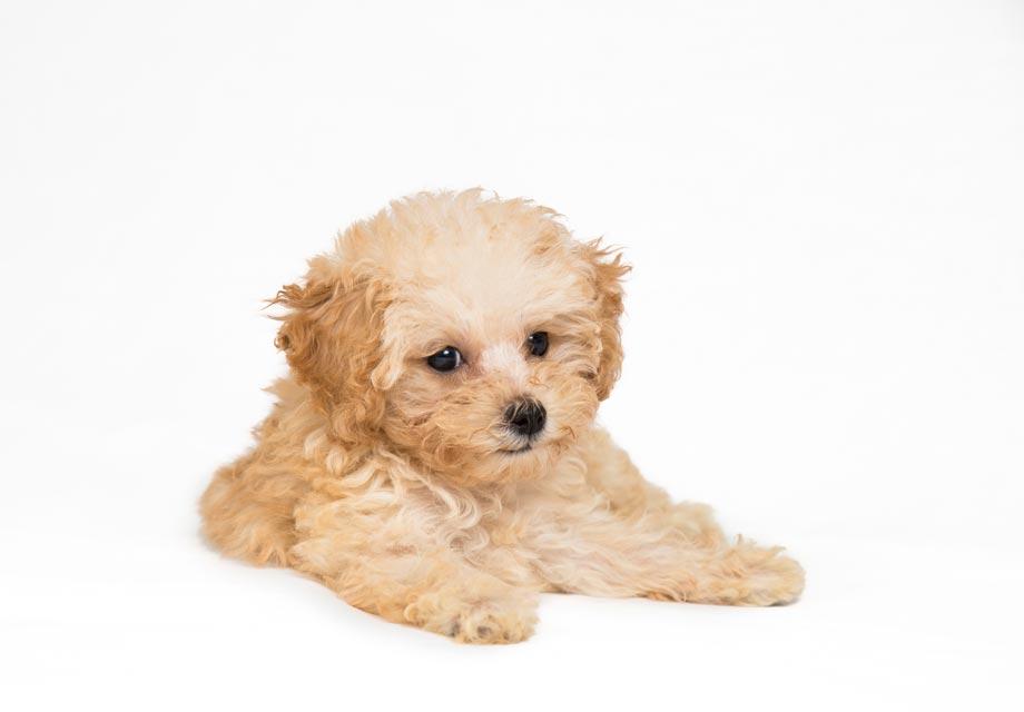 filhote de poodle 1