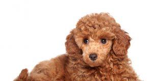 filhote de poodle 4