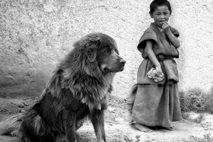 Mastim tibetano 3