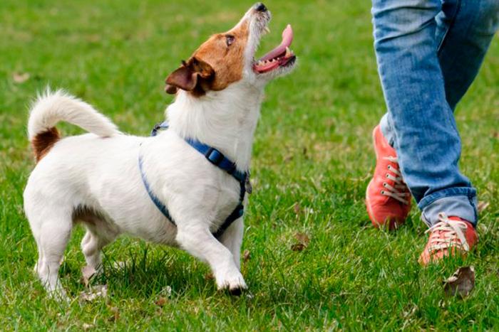 como começar o adestramento de cães 5