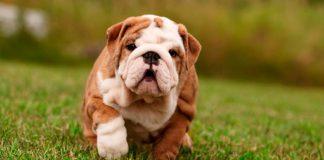 filhote de bulldog inglês 1