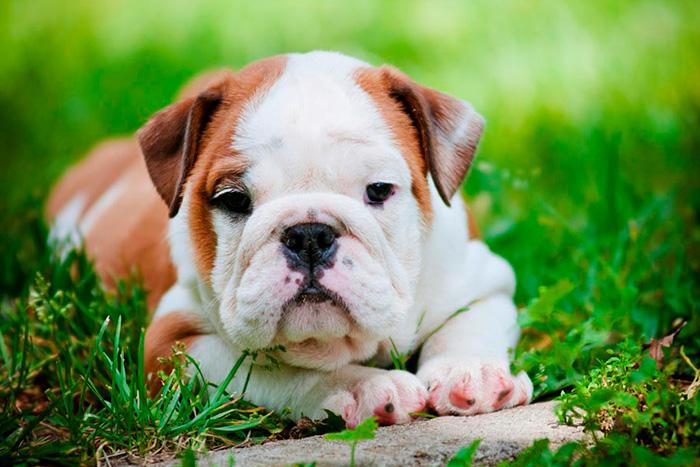 filhote de bulldog inglês 6