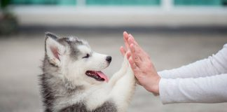 filhote de husky siberiano 3