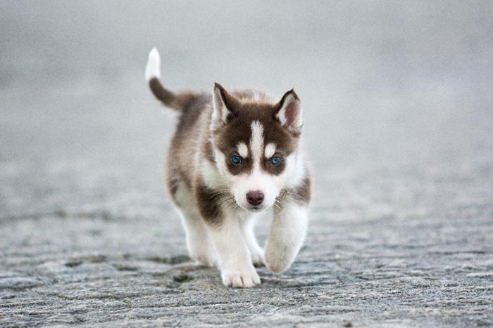 filhote de husky siberiano 4