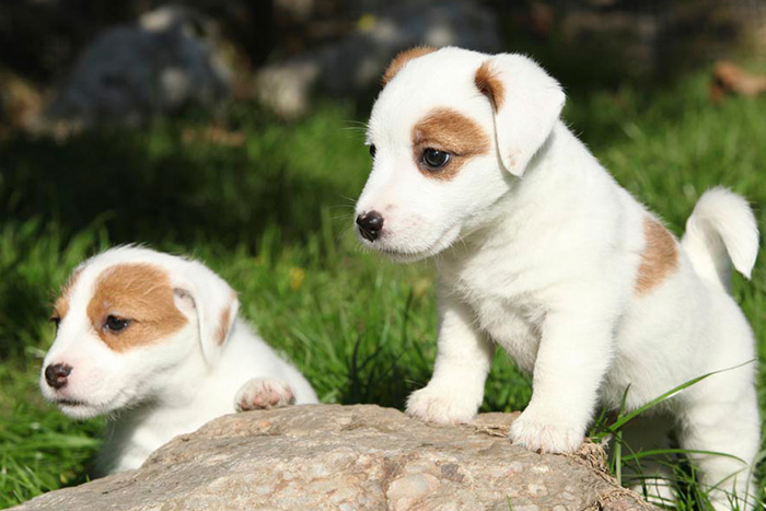 jack russell terrier 12