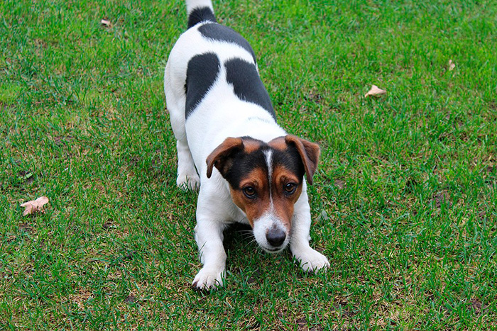 jack russell terrier 2