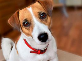 jack russell terrier 3