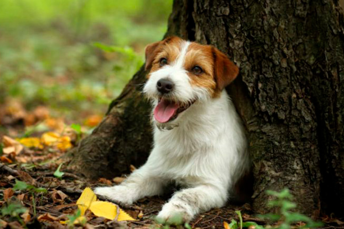 jack russell terrier 6