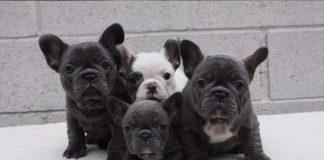 Filhote de Bulldog Francês 1