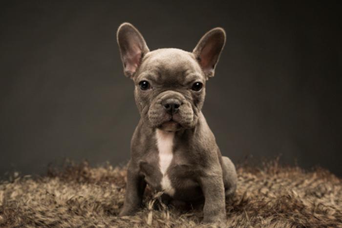 Filhote de Bulldog Francês 4