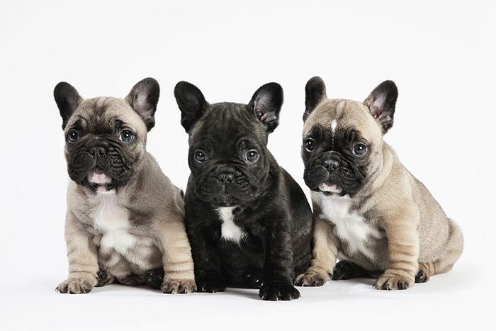 Filhote de Bulldog Francês 5
