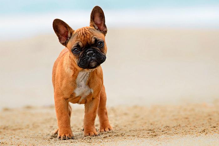 Filhote de Bulldog Francês 6