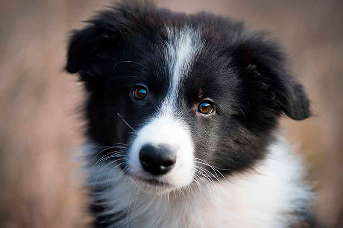 filhote de border collie 1