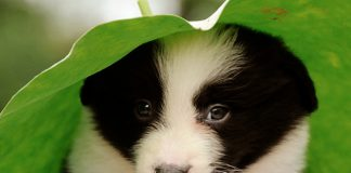 filhote de border collie 3