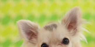 filhote de chihuahua 5
