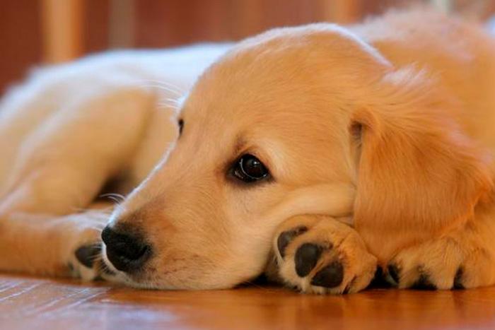 Como fazer o cachorro a parar de chorar quando fica sozinho em casa 1