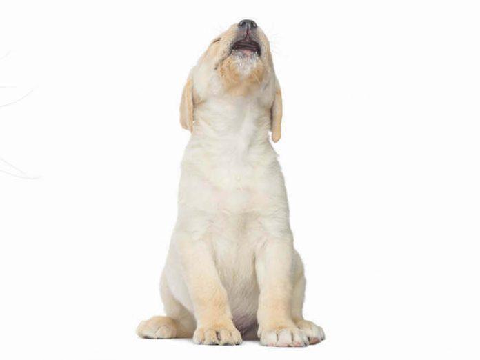 Como fazer o cachorro a parar de chorar quando fica sozinho em casa 2