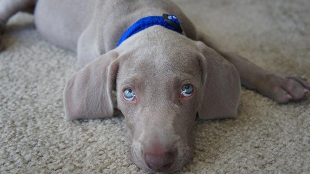 Como fazer o cachorro a parar de chorar quando fica sozinho em casa 4