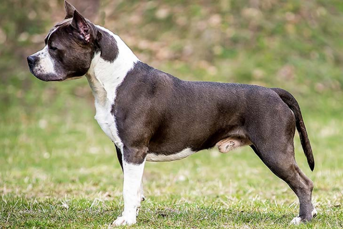 American Staffordshire Terrier 10