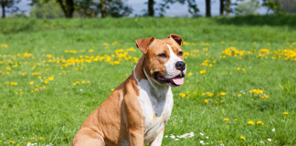American Staffordshire Terrier 4