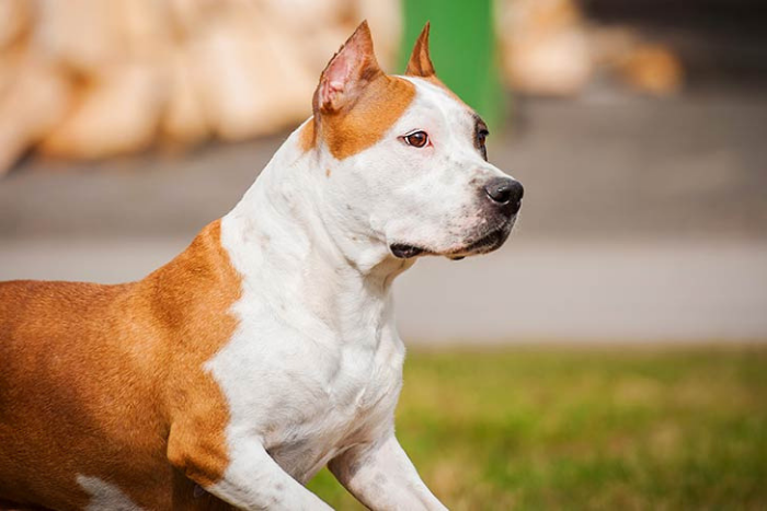 American Staffordshire Terrier 7